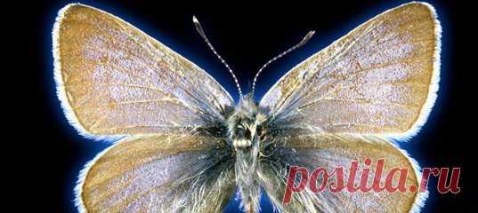 Вымирание голубянки G. xerces некогда всколыхнуло общественность, а она сама стала символом защиты насекомых и других беспозвоночных. Но что если она была не той, кем её считали? Узнать истинную сущность бабочки удалось по ДНК из 93-летнего образца.
