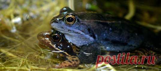 Последний раз самцы болотных лягушек в Британии голубели аж 700 лет назад. Юные биологи решили помочь редким земноводным начать наконец брачный сезон. А ведь это не так просто – потому что на сотню самцов по статистике всего одна самка 🐸