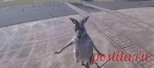 «Ты выбрал не тот аэродром для посадки, друг». Что делает кенгуру, когда в безоблачном небе появляется непонятная угроза атаки с воздуха? Конечно же, атакует первым!