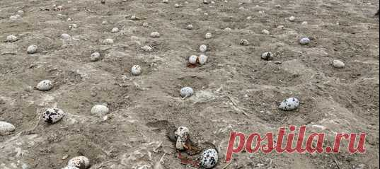 Не беспокоить высиживающих яйца птиц – довольно очевидное правило. Однако не все считают его важным. Элегантные крачки покинули свое излюбленное место гнездования в природном парке и не вернулись обратно – все из-за квадрокоптеров, поднятых в воздух любителями.