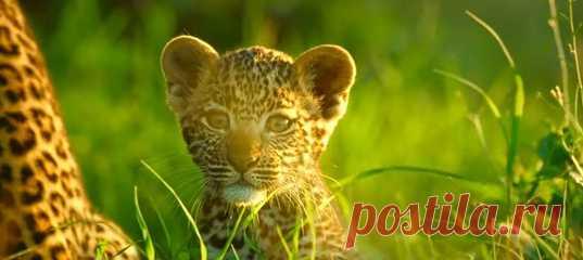 Неожиданно появившееся стадо буйволов уберегло детёныша леопарда от подстерегавшей его гиены – редкость для дикой природы, но на душе приятно.