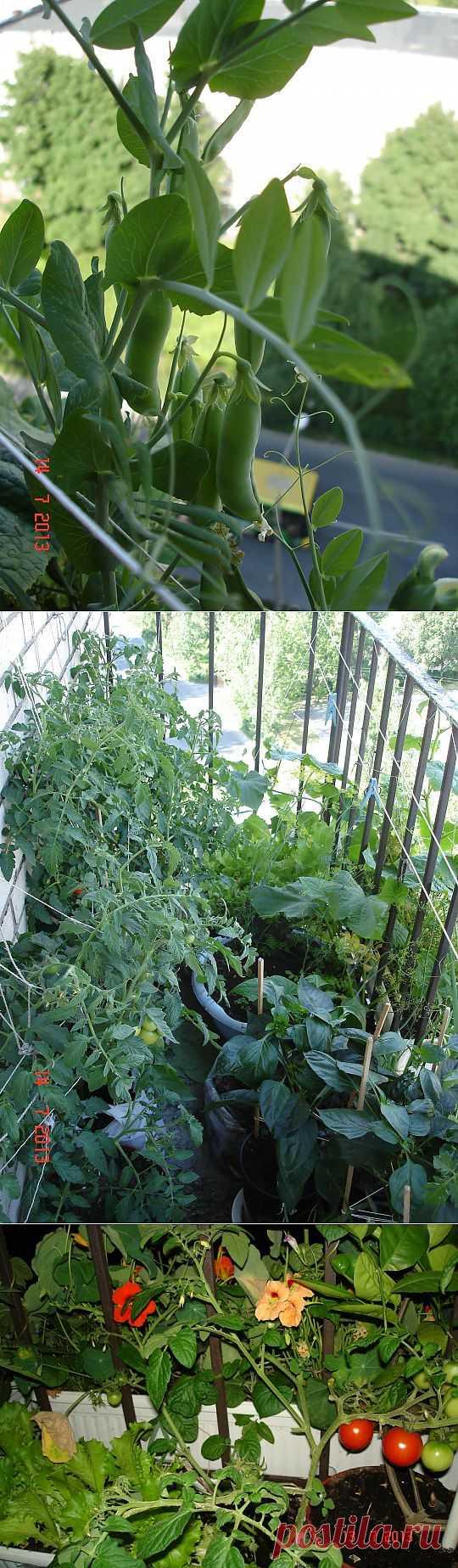 (+1) тема - А это мой балконный огородик | САД НА ПОДОКОННИКЕ