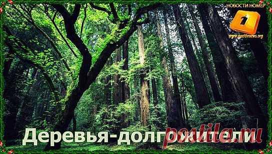 » Деревья долгожители Позитивные Новости