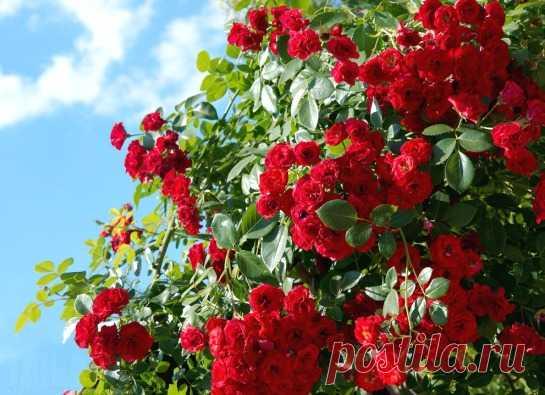 ягодные кустарники для дачи названия и фото