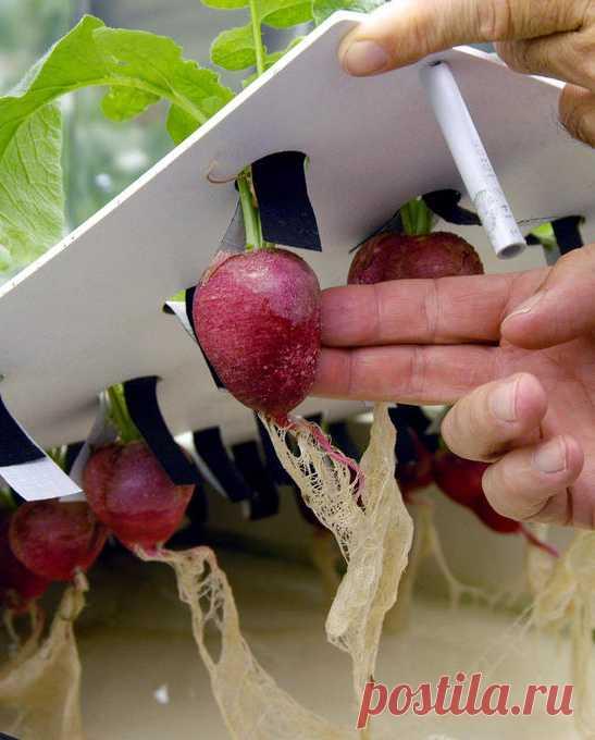 radish seeds lab