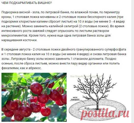 Правила подкормки вишни на весь сезон