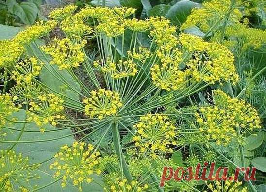 Семена укропа — лечебные свойства и противопоказания ...