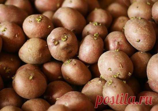 Как подготовить картофель к весенней посадке Дело в том, что даже такая привычная для всех культура, как картофель тоже имеет свои особенности выращивания, соблюдая которые вы можете достичь нужного результата. В данной статье речь пойдет о подготовке картофеля к посадке весной. Используя данную информацию, вы сможете получить хороший урожай осенью. Когда лучше сажать картофель? Картофель необходимо начинать сажать в то время, когда почва уже достаточно прогрелась. Для климата нашей страны са