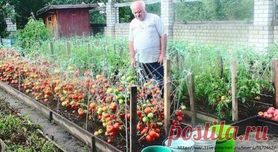 ПОЛЕЗНЫЕ СОВЕТЫ :  Дедовский рецепт для томатов