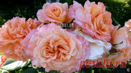 EASY WAY OF RESTORATION OF ROSES AFTER WINTER