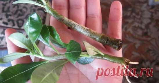 ЭТОТ СПОСОБ УКОРЕНЕНИЯ РАСТЕНИЙ ДЕЙСТВУЕТ ДАЖЕ ТАМ, ГДЕ ДРУГИЕ БЕССИЛЬНЫ Для тех растений, которые плохо укореняются привычными способами, приходится придумывать что-то новое. Мы нашли метод, который подходит даже для самых капризных растений. Вам понадобится: Корица; мед; стаканчик с почвой; герметичный пакет с зиппером Отрежьте от растения молодой побег с сильными свежими листьями. Обмакните