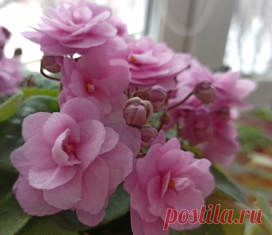 Как я подкармливаю свои фиалочки, чтобы они радовали продолжительным цветением | Цветочник в городе | Яндекс Дзен