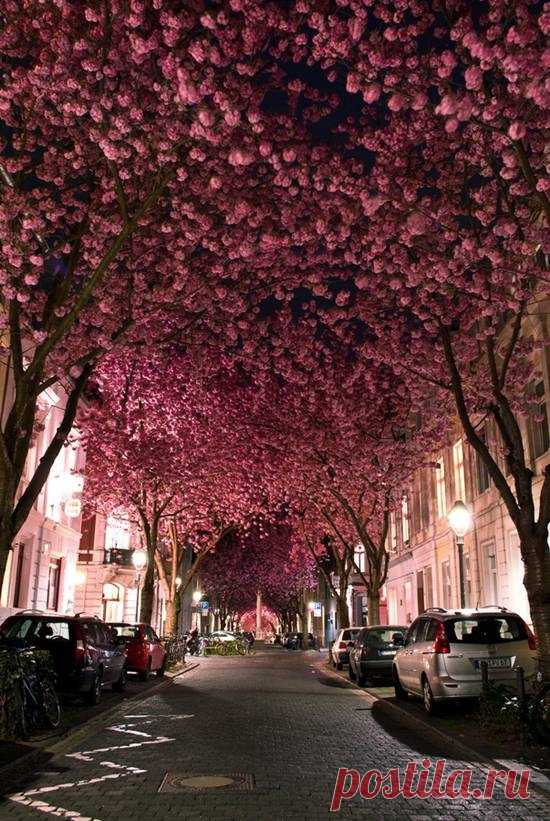 Изумительно красиво! Улочка  цветущей вишни. Бонн, Германия