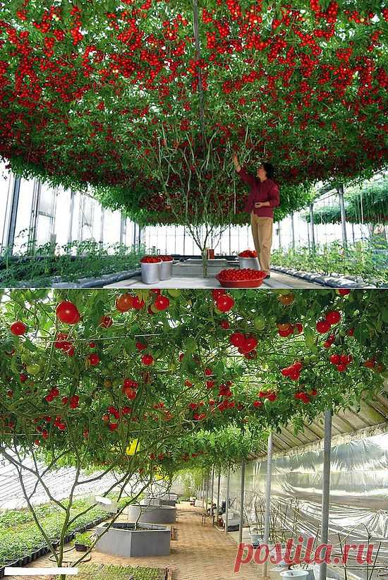 показать каким томатное дерево фото описание аджики