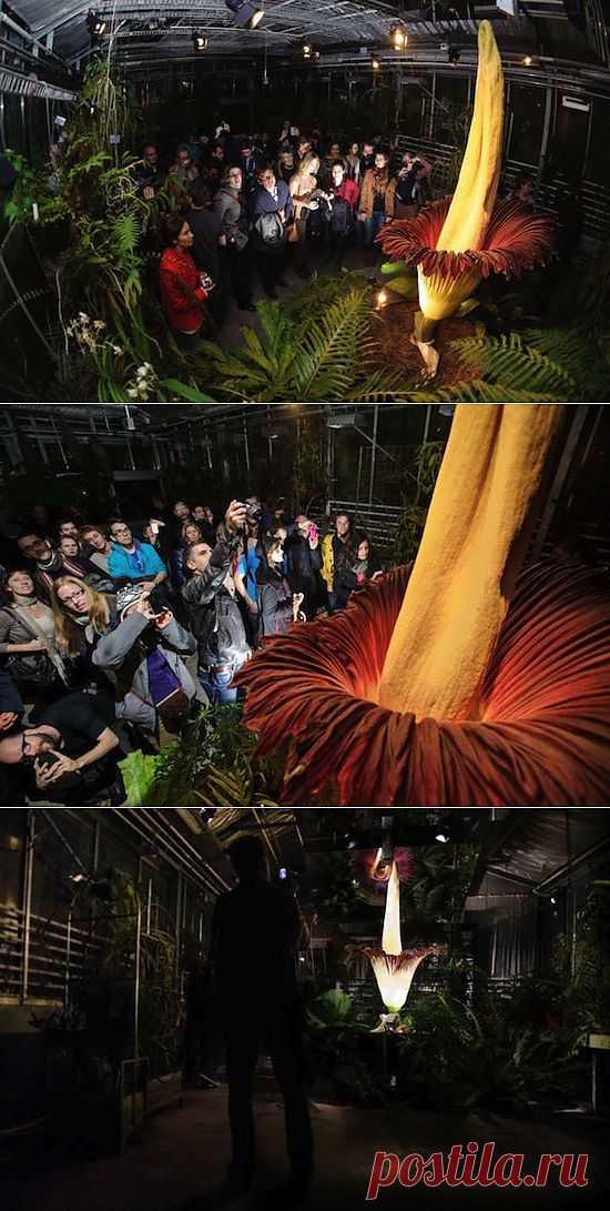 (+1) тема - Цветение самого большого цветка в мире | САД НА ПОДОКОННИКЕ