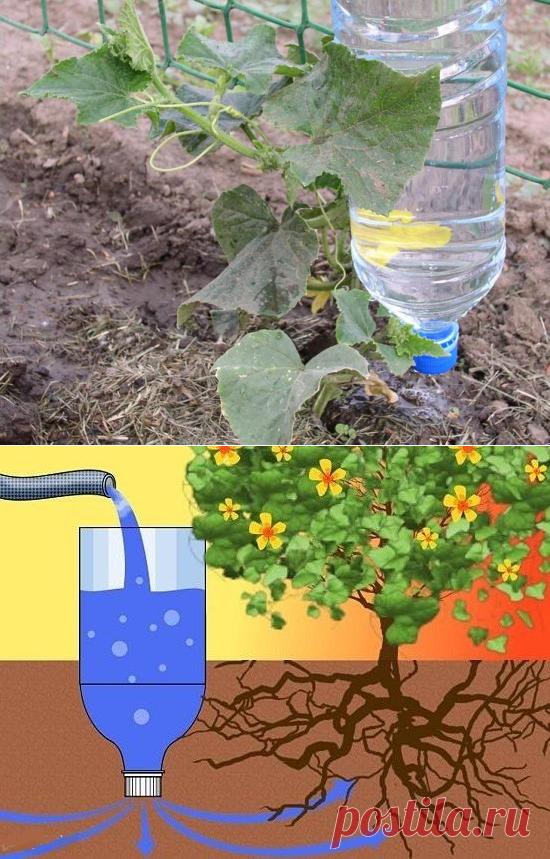 благодарностей, полив томатов через пластиковые бутылки фото это