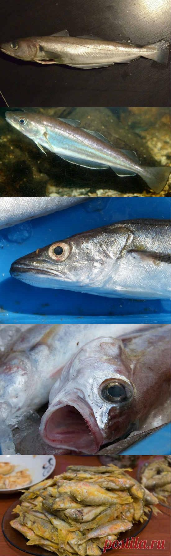 Рыба мерланг: семейство, фото, полезные свойства, как готовить