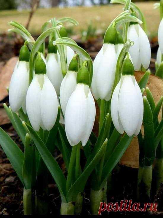 Запах есть... Н ежность- как ВЕСНА ... Она неспешно касается и пробуждает в нас все живое!!! Ты подснежник белый мой,ты порадовал весной. Хоть и запаха в нем нет,но красивый белый цвет!. Весеннего настроения вам!