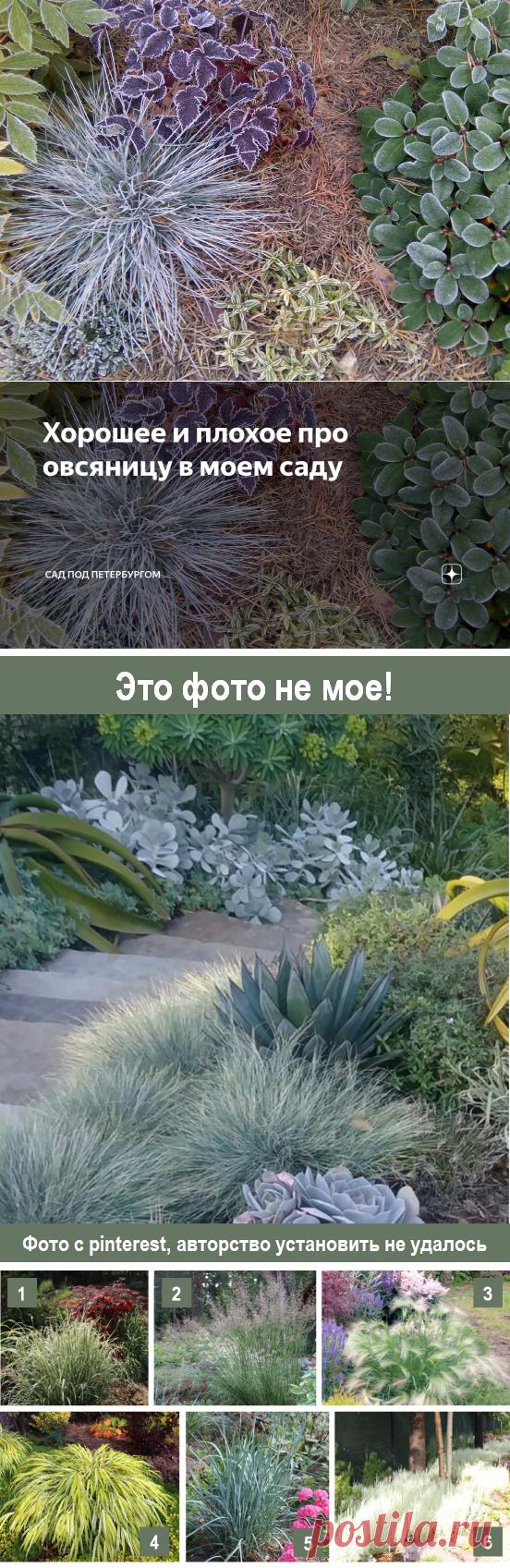 Хорошее и плохое про овсяницу в моем саду | Сад под Петербургом | Яндекс Дзен