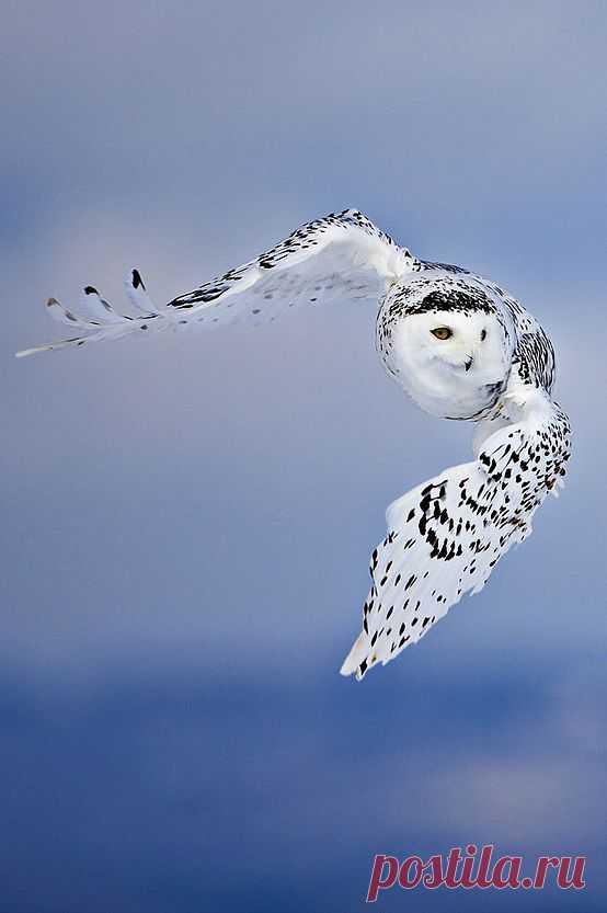 Полярная сова.........