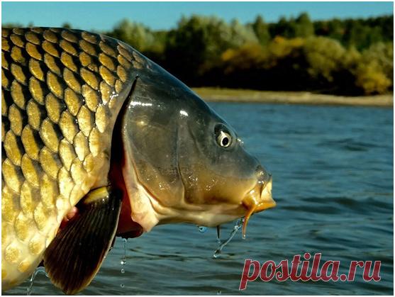 Карп – рыба мечты любого рыболова
