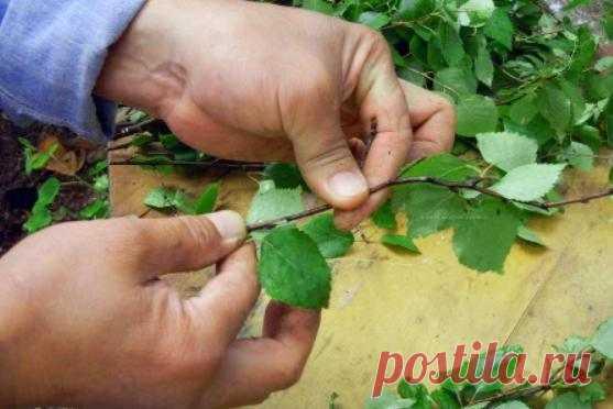 Майские березовые листья — эликсир жизненных сил и крепкого здоровья | WebVinegret