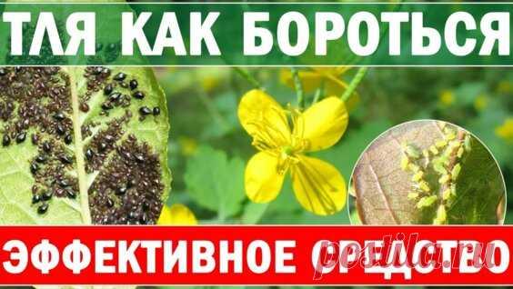 тля боится как огня - Яндекс.Видео