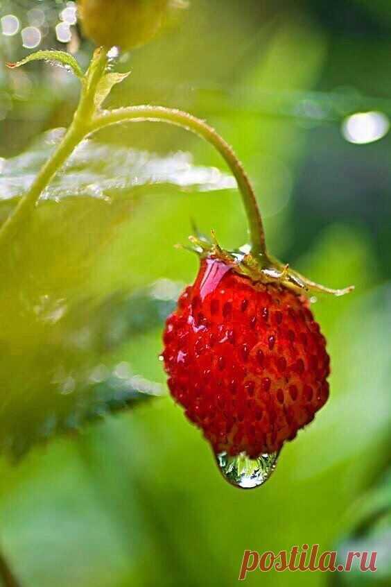 ღ«...пахнет лето  земляникой спелой...»