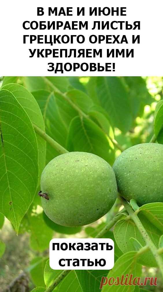 СМОТРИТЕ: В мае и июне собираем листья грецкого ореха и укрепляем ими здоровье!