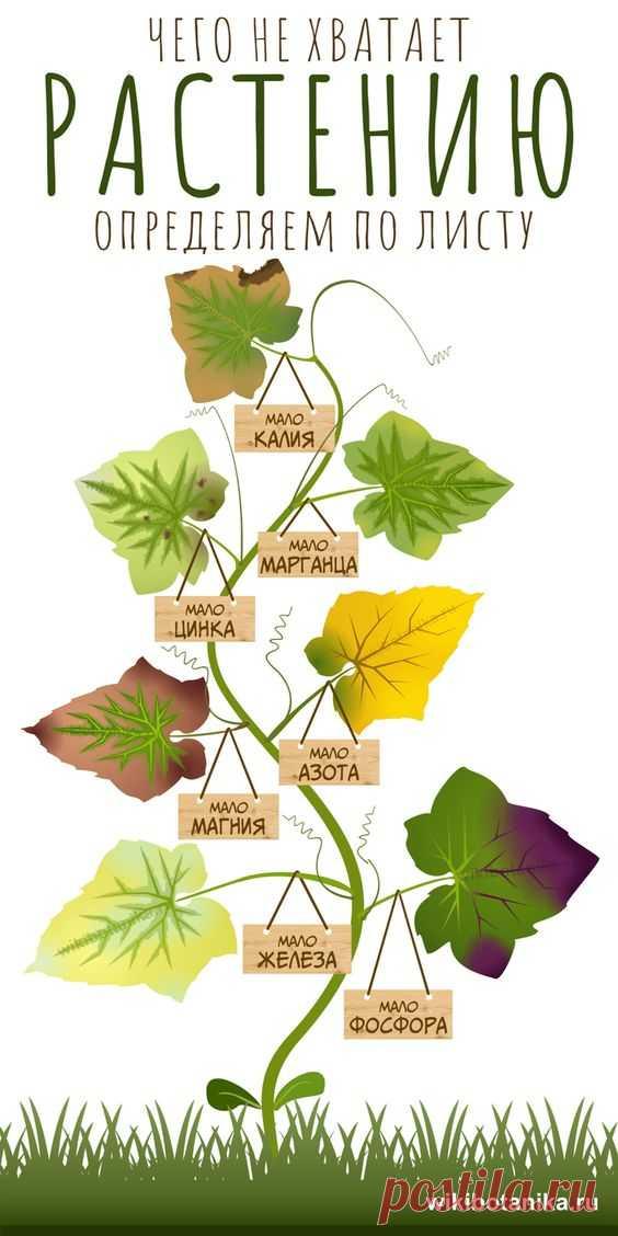 Как узнать, каких питательных веществ не хватает растению, а какие наоборот, слишком избыточны? Симптомы дефицита микроэлементов проявляются на листьях. #растения #сад #огород #дача…