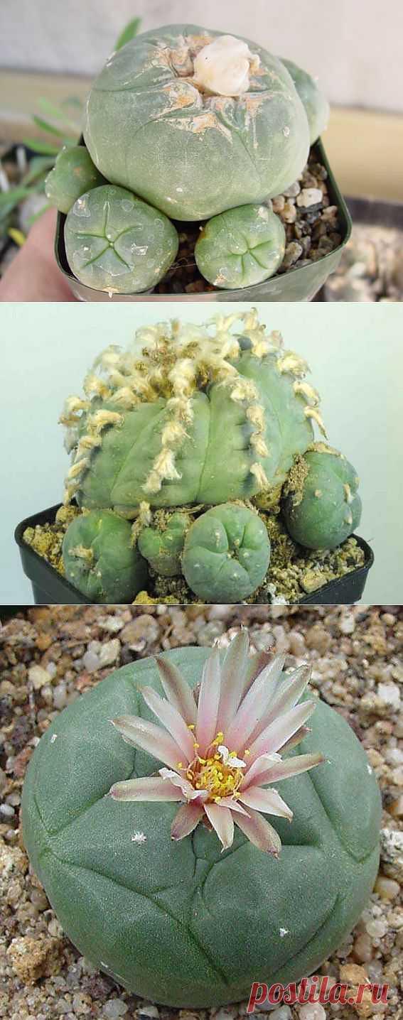 Такой интересный кактус - лофофор