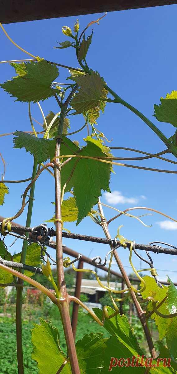 Летние операции с зелеными частями куста винограда. | Лоза виноградная | Яндекс Дзен