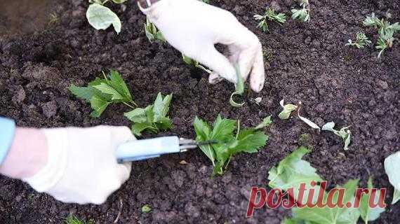 Черенкование садовых растений: как легко и просто размножить цветы и кустарники на Supersadovnik.ru Если нет возможности найти нужный саженец, его можно сравнительно быстро и без затрат вырастить из черенка.