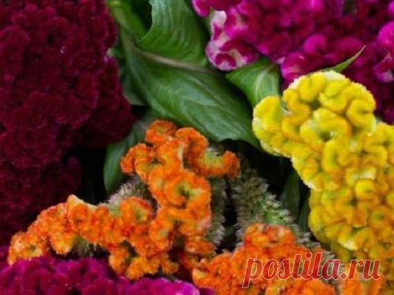 50+ Multi-Colored Mix Cockscomb Celosia / Annual Flower Seeds 30+ SEEDS.....BEAUTIFUL ROSE COLORED COCKSCOMB CELOSIA FLOWER SEEDS! UNUSUAL AND GORGEOUS ATTENTION-GETTING VELVETY TEXTURE AND INTERESTING SHAPE THAT WILL FASCINATE! STRIKING ROSE CRESTED TYPE FLOWERS BLOOM PROLIFICALLY ON WELL-BRANCHED PLANTS. CENTER BLOOMS REACH 8-10 INCHES ACROSS.