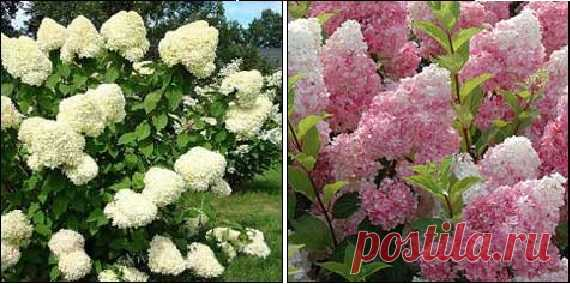 Garden hydrangeas Difference of types and ways of cutting.
