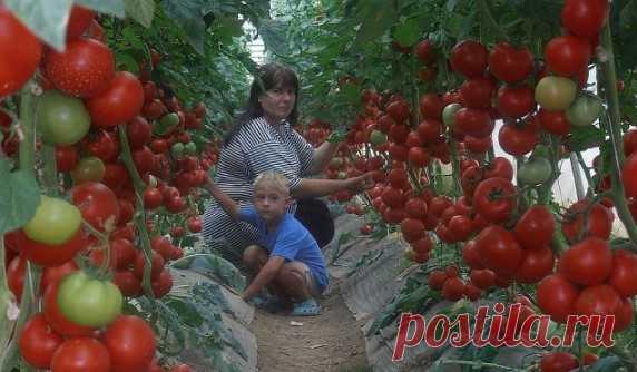 Супер-рецепт для томатов: очень эффективная подкормка! Рецепт очень прост… Втрехлитровую банку заливаю 2,6-2,7 лводы без хлора (отстоянной), добавляю...