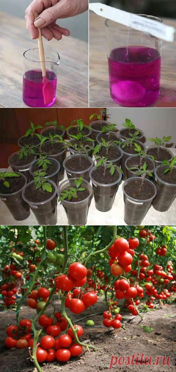 как правильно сажать помидоры на рассаду фото приглашаю вас