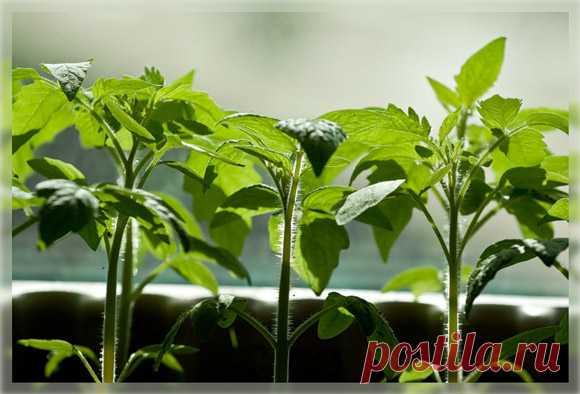 Ускоренный метод выращивания растений К этому способу я шла долго, тщательно отрабатывая каждый элемент на довольно трудоемкой культуре – томате.   Безморозный период под Москвой довольно короткий для теплолюбивых культур. Уже во второй п…