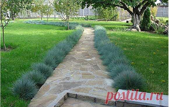 овсяница голубая в дизайне сада