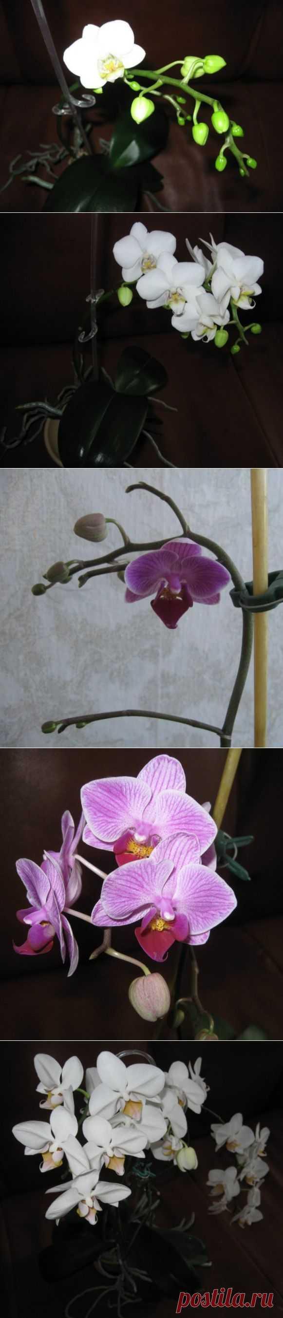 Цвет фаленопсиса и орхидеек | САД НА ПОДОКОННИКЕ