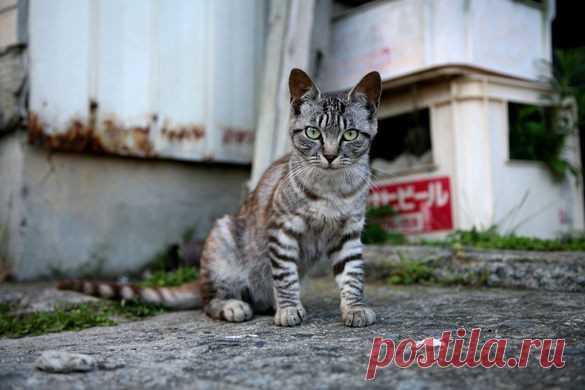 """ИСИНОМАКИ, ЯПОНИЯ - Остров Кэт Это не случайно, что кошки, которые населяют Tashirojima-или то, что стало известно как """"Кошачий остров""""—в Японии стали основными жителями острова. Кошки издавна считались местными жителями олицетворением удачи и везения, и вдвойне, если их кормить и ухаживать за ними. Таким образом, с кошками обращаются как с королями, и хотя большинство из них дикие, потому что держать их как """"домашних животных"""" обычно считается неуместным, они хорошо питаются и хорошо заботятся."""