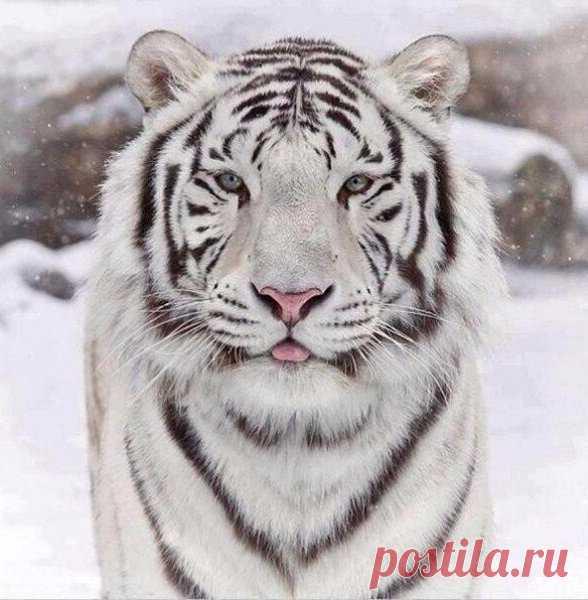 Бенгальский тигр Без кота и жизнь не та : Бенгальский тигр