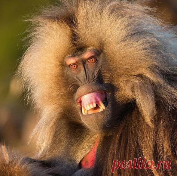Альфа-самец гелада как бы предупреждает приближающую банду холостяков. Эфиопия.