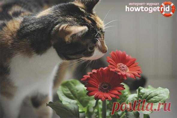 Как защитить цветы от кота, методы, безопасные для кошек и для растений Содержание ✓✓ ВРЕМЕННАЯ ЗАМЕНА✓ ОБОЮДНАЯ ОПАСНОСТЬ✓ Защита комнатных цветов от кошекТак случается, что домашние цветы в нашей квартире подвергаются разным «внештатным» опасностям. Это и попадания футбольным