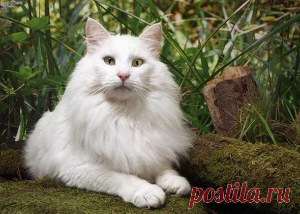 10 самых больших пород кошек | PetTips