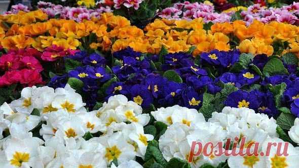 Примула многолетняя садовая: посадка и уход