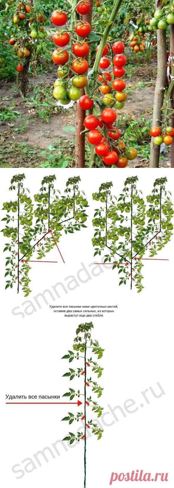 Как правильно разместить помидоры в теплице фото
