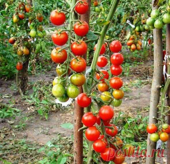 Пасынкование помидор: как правильно пасынковать и прищипывать помидоры в теплице