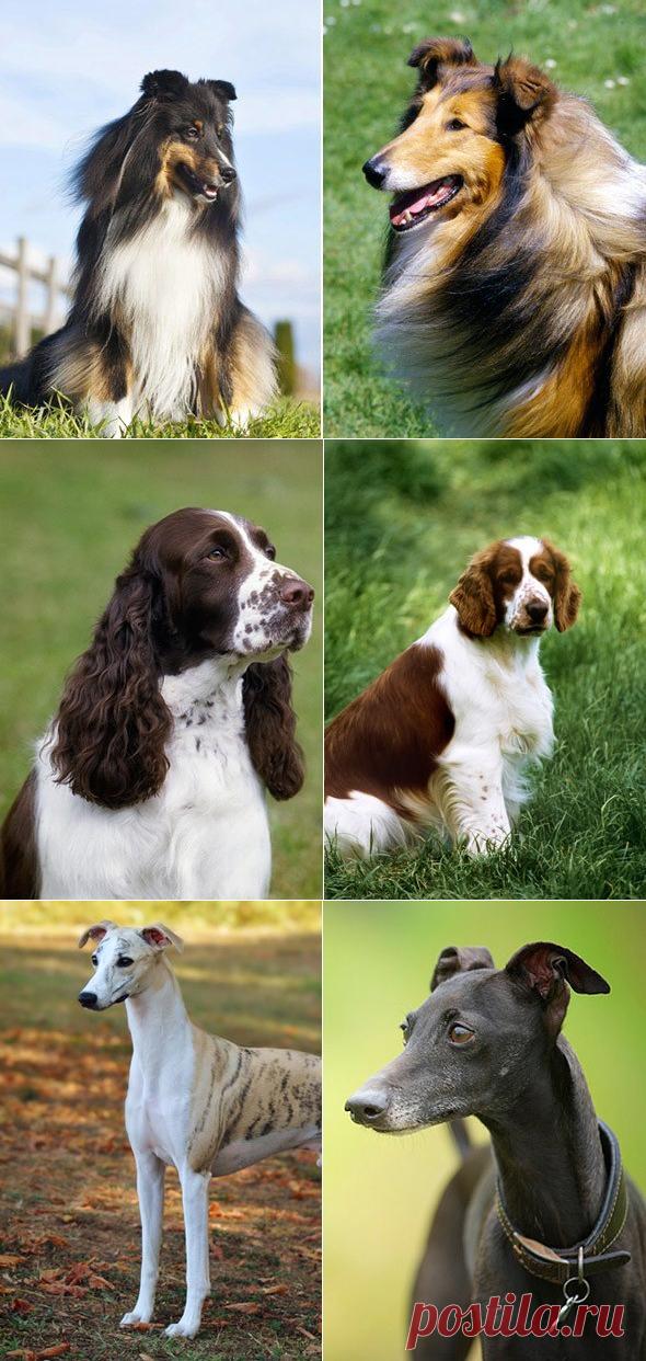 14 похожих пород собак. Сможете ли вы отличить их друг от друга   PetTips