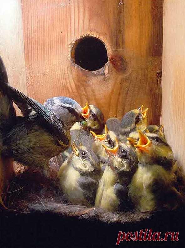 Известно ли вам, что синица кормит птенцов 1000 раз за сутки? По ссылке также другие интересные факты о животных